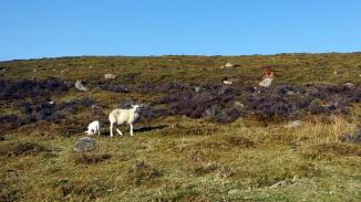 Clachnaben sheep